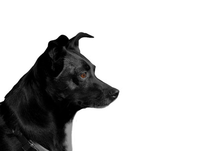 profil: black dog sitting in profile