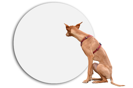 sitter: Podenco brown dog in front of the white placard