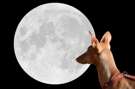 sitter: Podenco brown dog in front of the moon