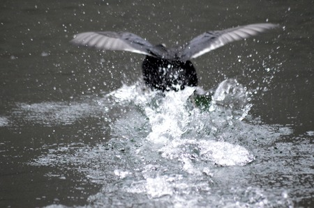water wings: black bird flapping its wings in water