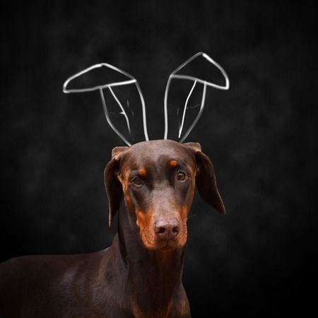 brown Doberman with bunny ears on neutral background