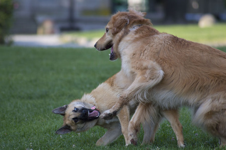 Couple of dogs playing on green meadow