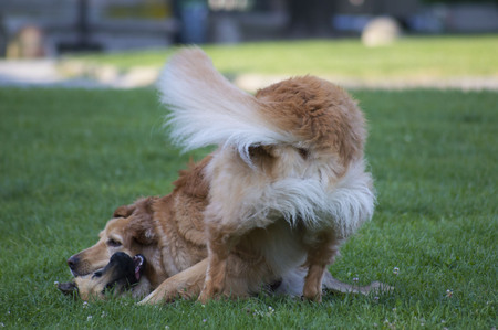 sitter: Couple of dogs playing on green meadow