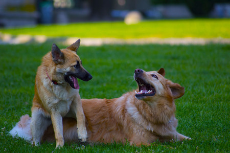 Couple of dogs playing on green meadow  Stock Photo