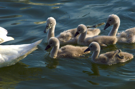 Swan mother with puppies in Lake Como