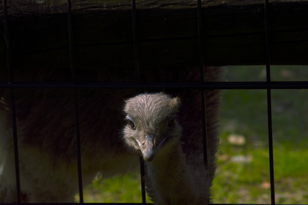 ostrich with his head out of the fence Stock Photo