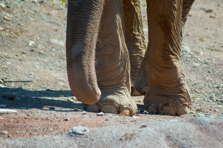 big gray elephant posing in the first photo plan Banco de Imagens