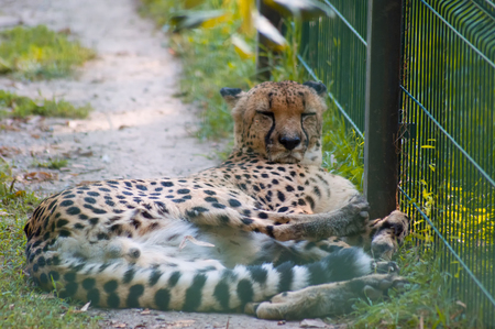 cheetah lying resting in a zoo