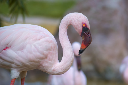 pink flamingo posing in the first photo plan Stock Photo