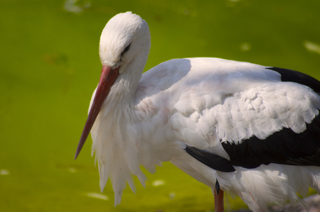 white stork on the background of green water