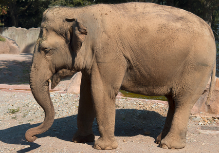 big gray elephant posing in the first photo plan Stock Photo