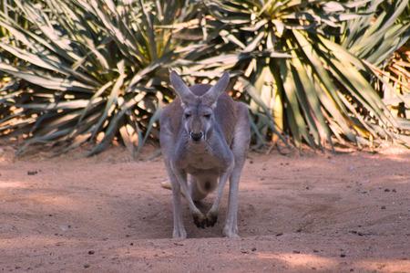 gray kangaroo in the wild