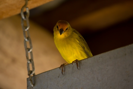 warble: A yellow bird looking to the camera