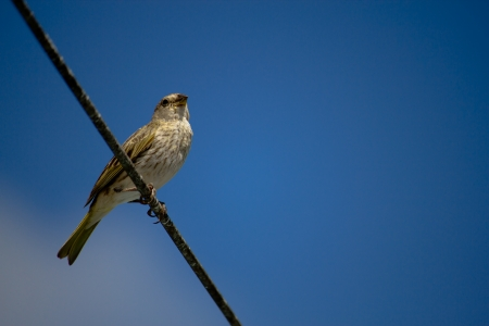 warble: A bird resting in a cable