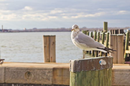 wooden post: Seagull standing on wooden post at pier with East River on background