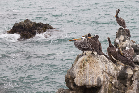 mar: Seagull group resting on stones at Vina del Mar beach. Stock Photo