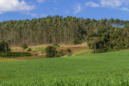 eucalyptus trees: Eucalyptus trees in a Farm with fields and forest and in Venancio Aires, Rio Grande do Sul, Brazil