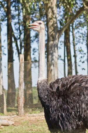 inquiring: Emu in the zoo facing the camera
