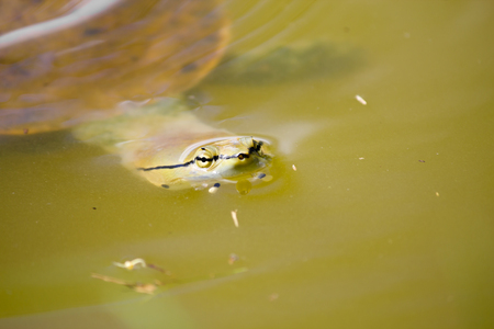 Closeup of a turtle swimming in the lake