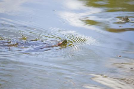 Primer plano de una tortuga nadando en el lago