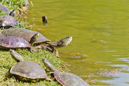 Grupo de turltes en el lago