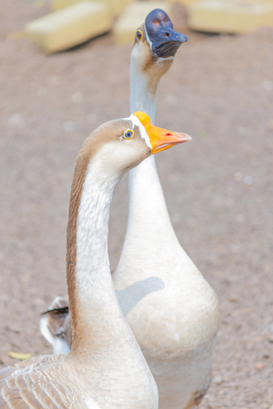 detailed image: Detailed image of a couple of ducks