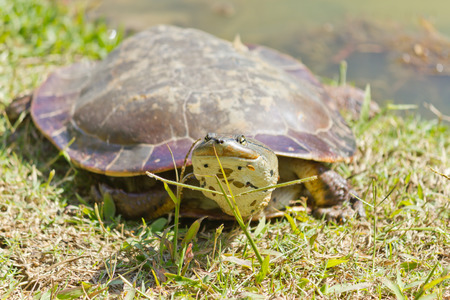 land turtle: Details of turtle in the grass. Stock Photo