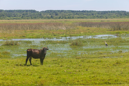 Cow and Maguari Stork in a swamp in Lagoa do Peixe lake, Mostardas city, Rio  Grande do Sul, Brazil. Stock Photo