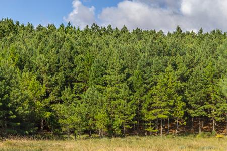 Pine Forest in Cambara do Sul, Rio Grande do Sul, Brazil Stock Photo