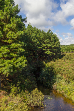 Pine Forest in Cambara do Sul, Rio Grande do Sul, Brazil Stock Photo