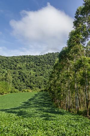 do: Soy plantation and Eucalyptus forest in Linha Alegre, Mucum, Rio Grande do Sul, Brazil