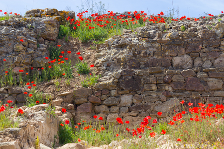 Common poppy flower and stone wall in Santiago do Cacem, Alentejo, Portugal