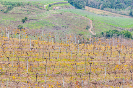 Vineyards in winter, Vale dos Vinhedos valley, Bento Goncalves, Rio Grande do Sul, Brazil