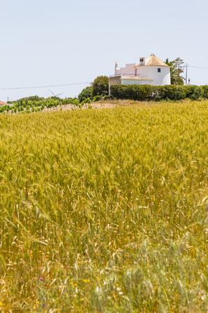 Wheat plantation and old windmill in a farm, Aljezur, Algarve, Portugal