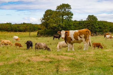 Herd in a farm field in Ballyvaughan, Ireland