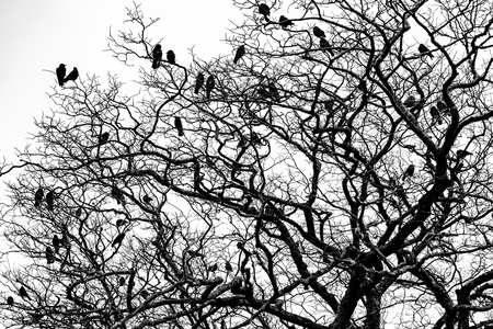 Black crows over a tree in black and white, Ireland