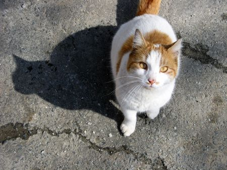 meow: An orange and white stray cat looking at the camera and casting a perfect shadow on the asphalt.