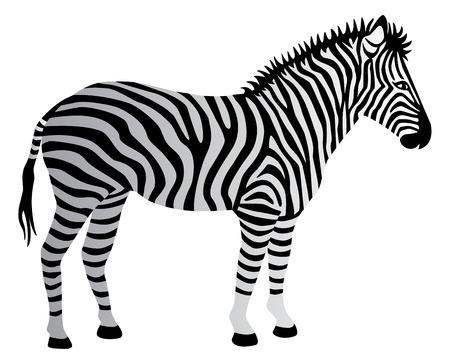 endangered species: Illustration of a zebra isolated on white.