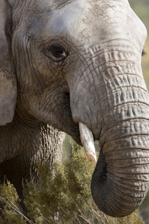 Elephant head shot, South Africa  Stock Photo - 15779557