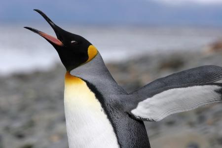 squeal: King Penguin si estende le sue ali, Georgia del Sud Archivio Fotografico