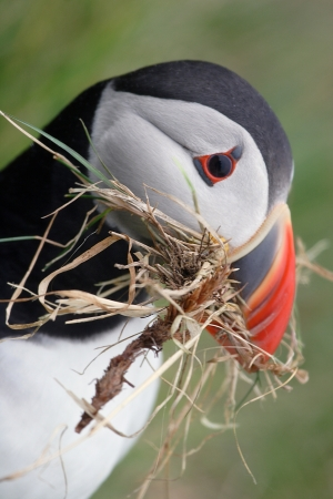 Puffin collected grass   twigs to build nest, Shetland Islands Stock Photo