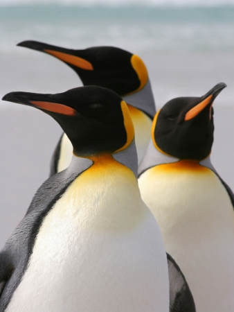 penguins on beach: Group of three King Penguins, Falkland Islands Stock Photo