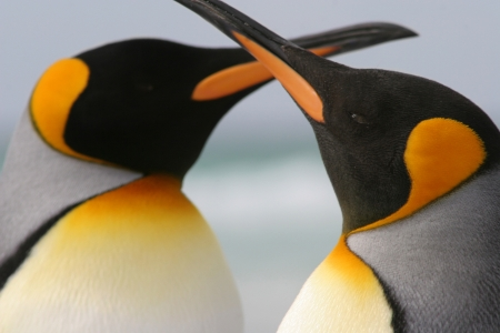 King Penguin Couple crossed beaks love affection photo