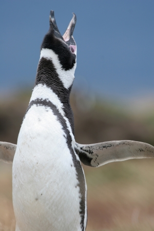 Magellan Penguin flaps its wings   makes some noise, Punta Arenas, Chile photo