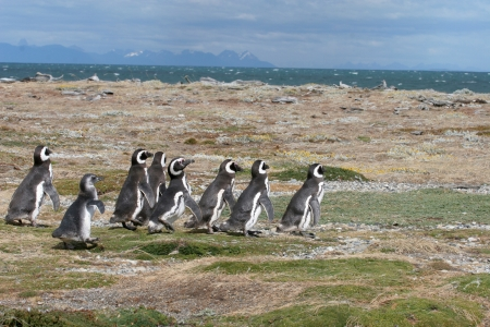 polar climate: Magellan Penguins run for the beach, Punta Arenas, Chile