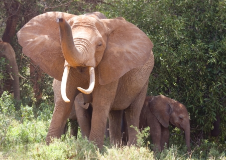 African Elelphant raising Trunk with young, Kenya