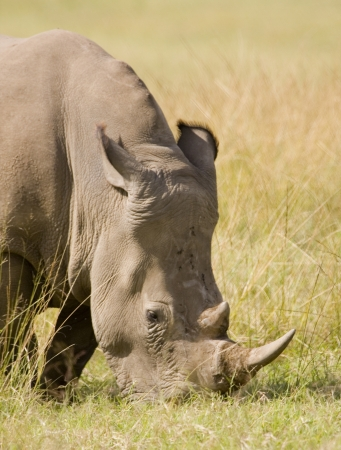 White Rhino grazes, South Africa photo