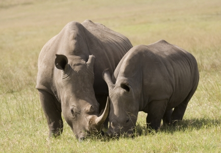 White Rhino Mother  Baby, South Africa Stock Photo - 16082000