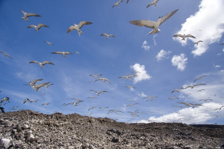 Sooty Terns nesting place, with hundreds of terns flying overhead, Ascension Island photo