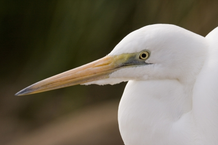 Close up of a beautiful Egret's head, Australia. Egret has a totally white feathered coat with an orange beak & yellow & green detailing around its eye. photo
